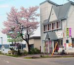 事務所の桜.jpg