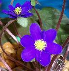 小国 青紫.jpg