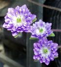 薄紫.jpg